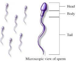 Spermatozoa Penentu Kesuburan Pria