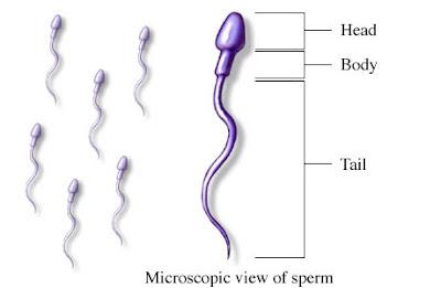gambar-spermatozoa spesialis torch